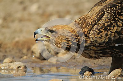 Eagle, Tawny - Wild Birds from Africa - Quenching Thirst and Background Beauty