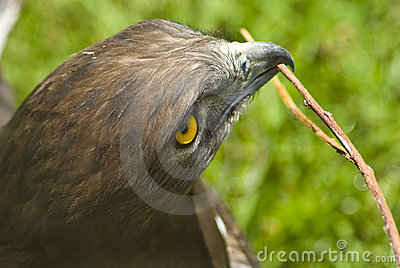 Eagle with twig in mouth
