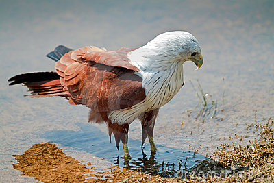 Eagle wading in water