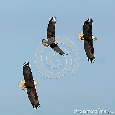 Free Eagles Stock Image - 64841441