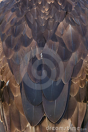 Eagles feathers