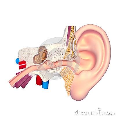 Ear anatomy cross section
