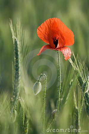 Ear of cereals and one red poppy close-up