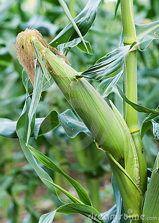 Ear of Corn Growing in Corn Field