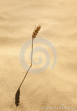 Ear of corn grows in sand