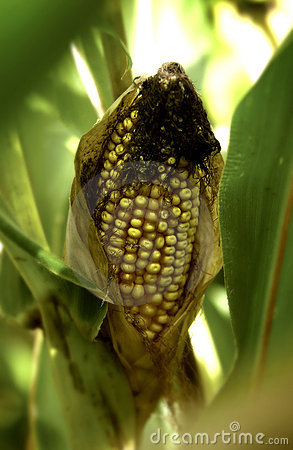 Ear of corn on the stalk in the field