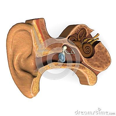 Ear cut
