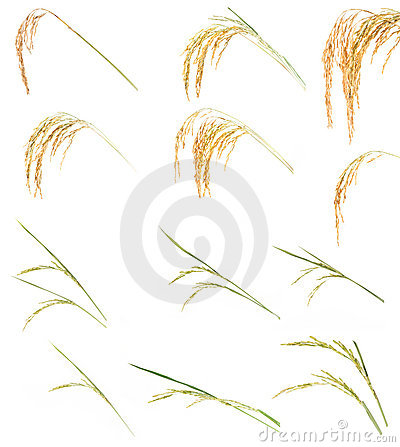 Free Ear Of Rice Collection Stock Images - 22131724
