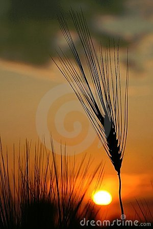 Free Ear Of Wheat At Summer Sunrise Royalty Free Stock Image - 7384856