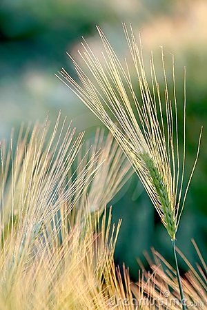 Free Ear Of Wheat In The Light Of The Rising Sun Royalty Free Stock Images - 10494519