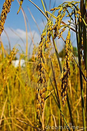 An ear of paddy,thai rice