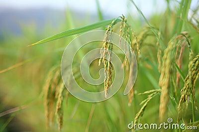 Ear of rice