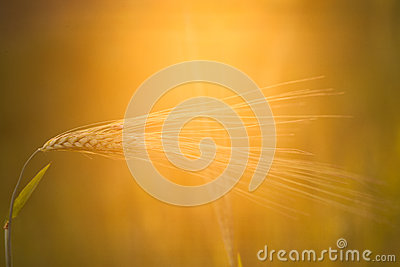 Ear of rye