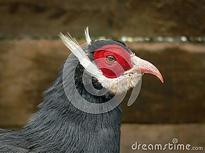 голубой eared головной фазан