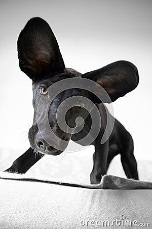 Free Eared Dog Stock Photo - 78159790