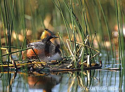 Eared Grebe on Nest