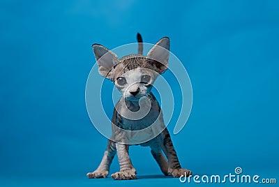 Eared kitty