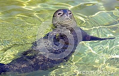 Earless seal pup
