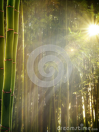 Early morning in the bamboo forest