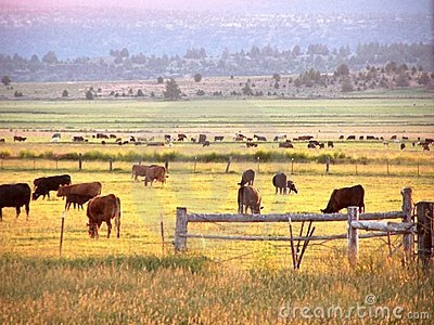 Early morning cattle grazing