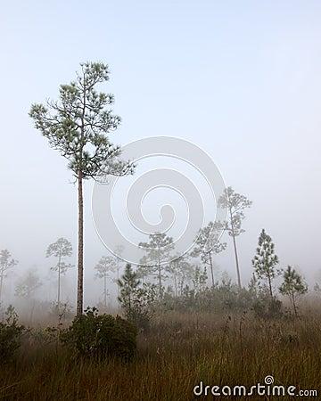 Early morning fog Pine Land