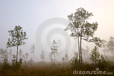Early morning fog Pine Land