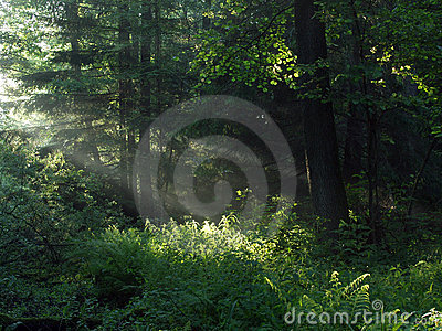 Early morning in the forest