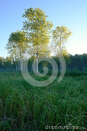 Free Early Morning Light On Aspen Trees In Meadow Royalty Free Stock Image - 71144876