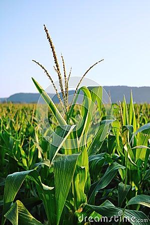 Early Morning Side Lighting on Corn Field