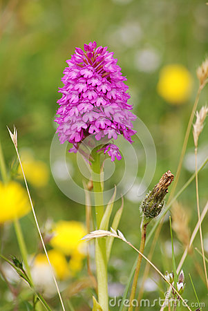 Early purple Pyramidal orchid (Anacamptis pyramida