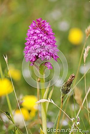 Early purple Pyramidal orchid (Anacamptis pyramida