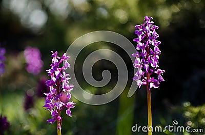 Early purple wild flower