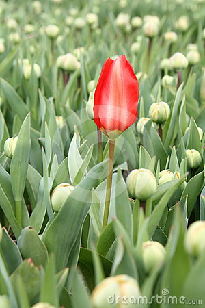 Early red tulip in a field