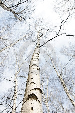 Early spring in a birch forest