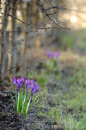Free Early Spring Crocus Flowers Royalty Free Stock Images - 13382519
