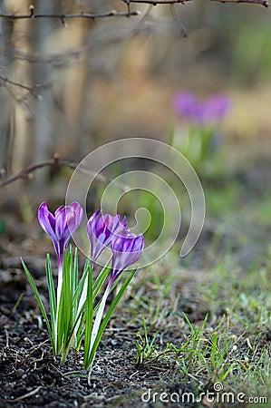 Free Early Spring Crocus Flowers Stock Photos - 13382523
