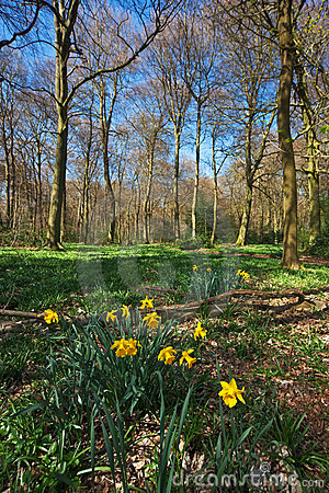 Early spring daffodils in a forest