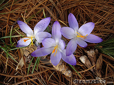 Early spring flowers (crocus) in pine forest