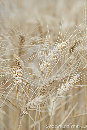 Free Ears Of Rye In The Field Stock Photos - 56220593