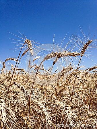 Free Ears Of Wheat Stock Photos - 56035733