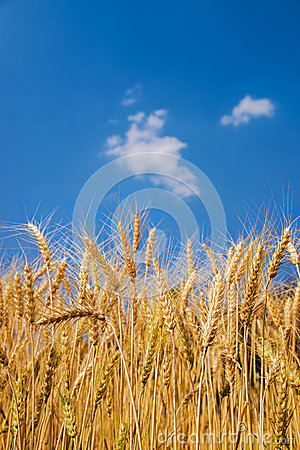 Free Ears Of Wheat On Blue Sky Stock Photo - 43569980