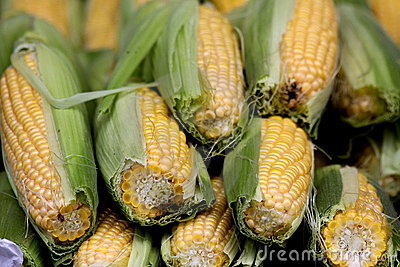 Ears of partially husked corn