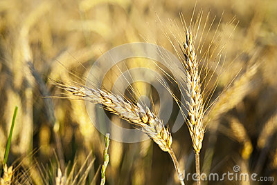 Ears of rye in nature