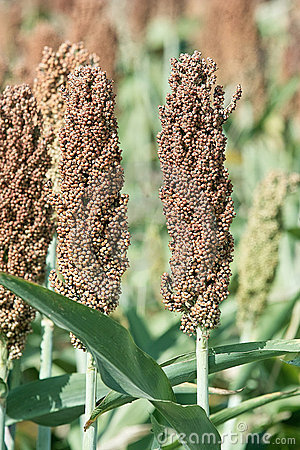 Ears of sorghum