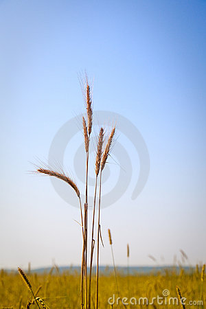 Ears of wheat and cloudy sky in summer time