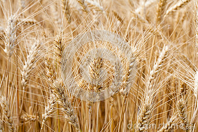 Ears of wheat in a field