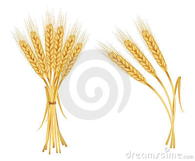 Ears of wheat isolated on white.