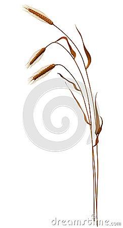 Ears of Wheat II