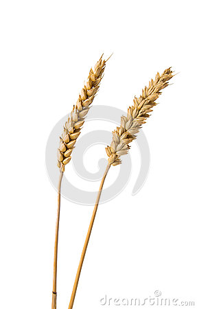 Ears of wheat isolated