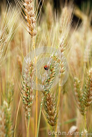 Ears of wheat and ladybird